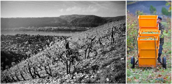 Wir bewirtschaften ausschließlich Steil- und Steilstlagen, wie hier im Leutesdorfer Bitzental. Das ist zwar aufwendig. Doch sind einzigartige, Terroir-geprägte Weine der Lohn für diese Mühe. Rechts unser Helfer Patryk Flis bei der Ernte, Herbst 2012.
